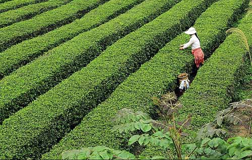 plantation de thé longjing hangzhou